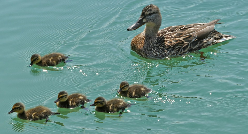 Water, Ducks, Family, River, Light, Sun, Wave, Ducky