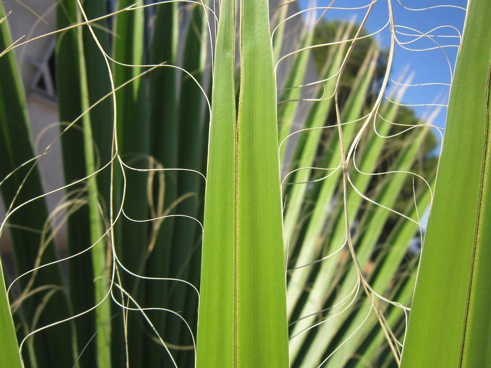 Palm, Leaf, Green, Structure, Palm Leaf, Fan Palm