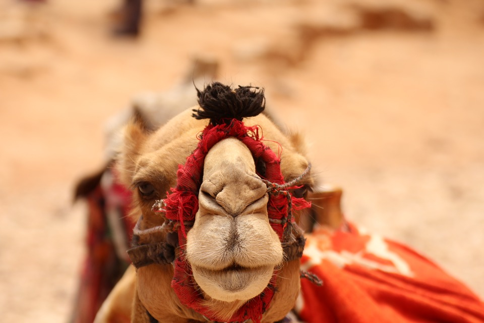 Orient, Camel, Far East, Travel, Vacations, Arabic