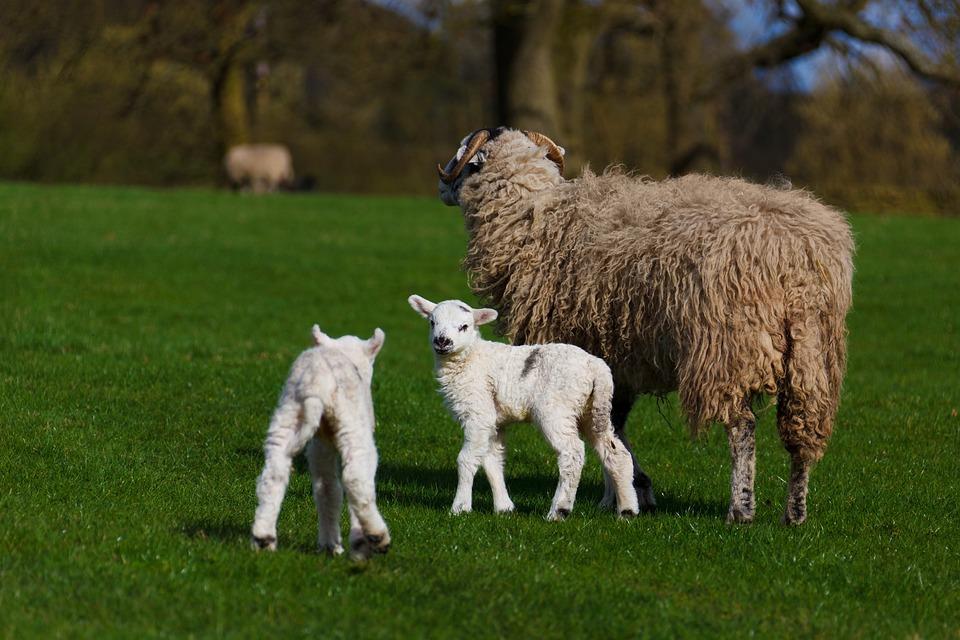 Agriculture, Animal, Baby, Cute, Farm, Farming, Field