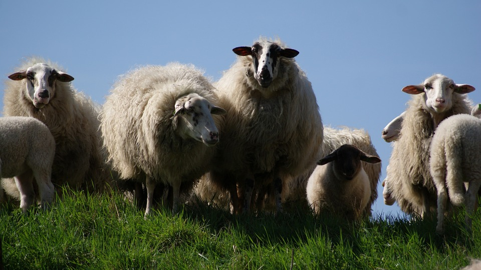 Sheep, Herd, Livestock, Farm, Animal, Agriculture, Lamb