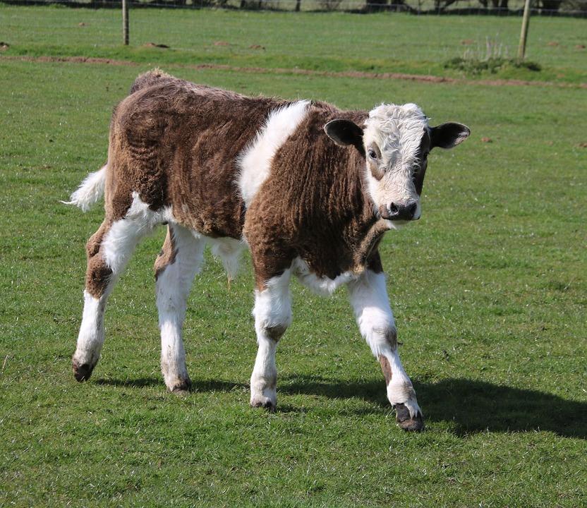 Calf, Farm, Grass, Animal, Cow, Agriculture, Cattle
