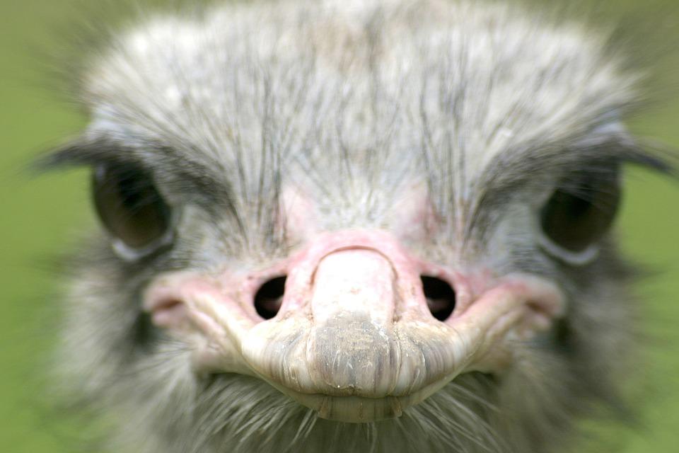 Ostrich, Animal, Farm, Bird, Nature, Animals, Green