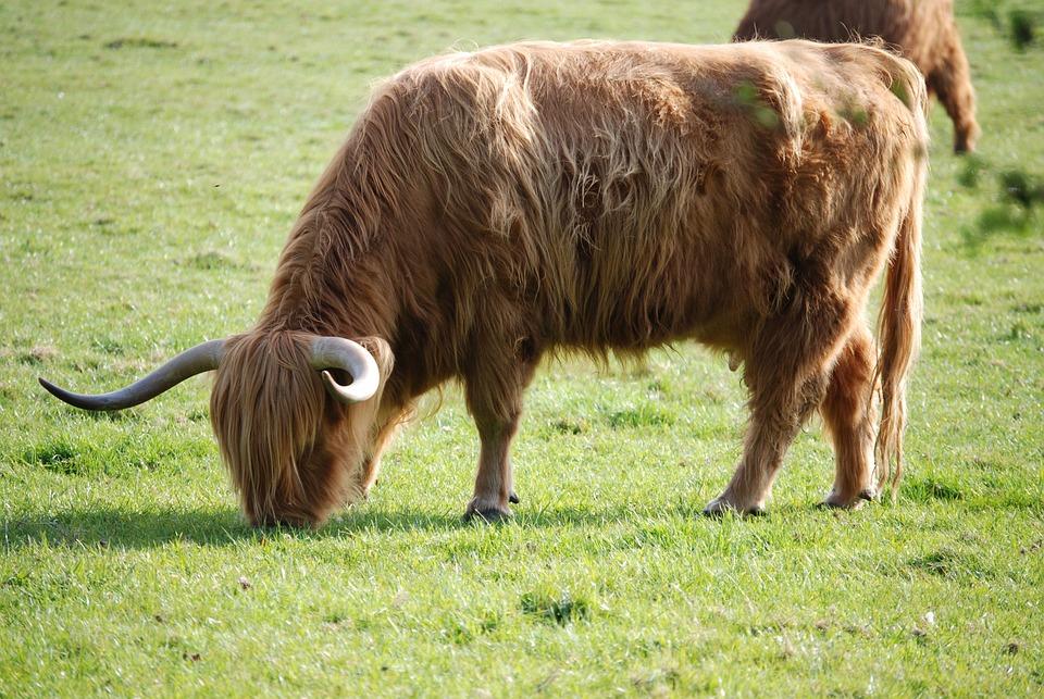 Highland Cattle, Cattle, Cow, Hairy, Horns, Farm Animal