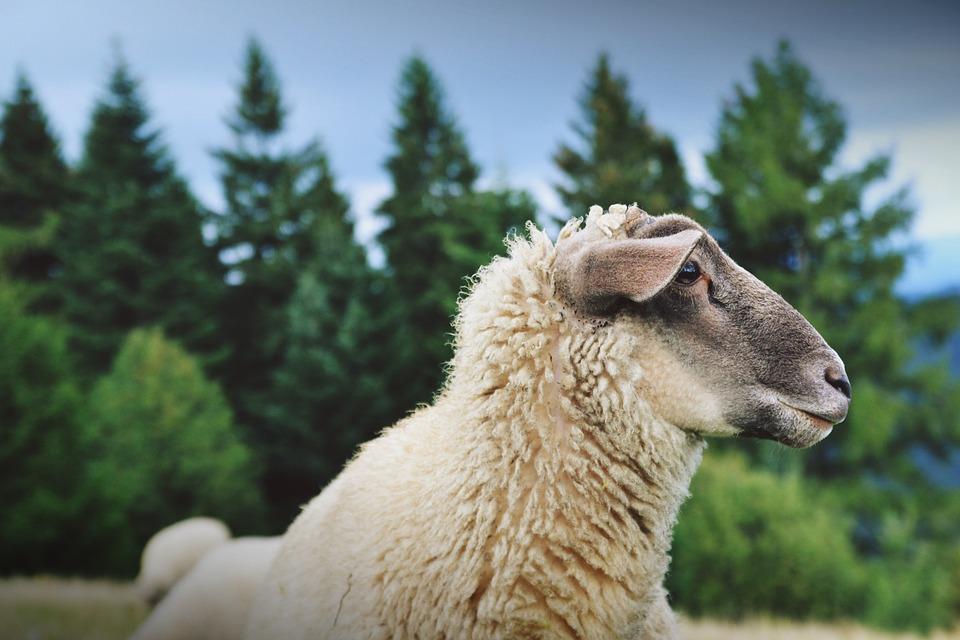 Animal, Countryside, Cute, Farm, Fur, Livestock, Nature