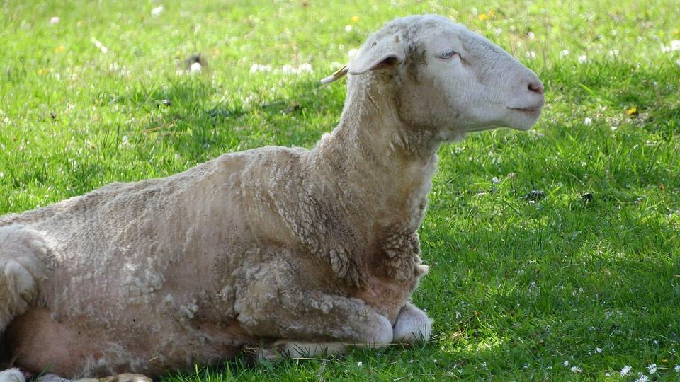 Sheep, The Animal On The Pasture, Farm Animal, Portrait