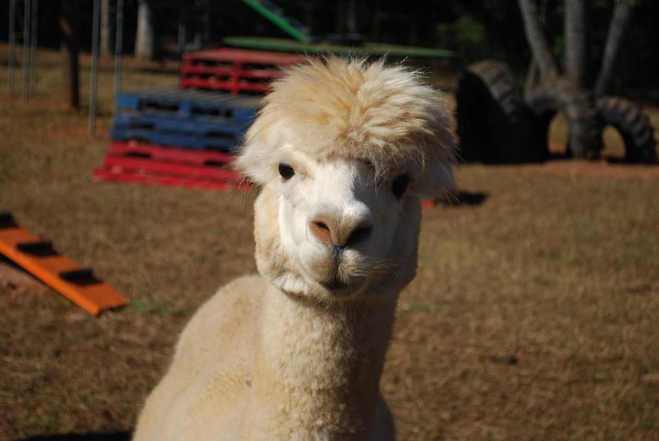 Alpaca, Farm, Animal, White