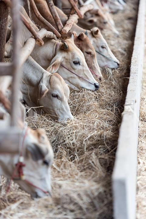 Livestock, Cows, Cattle, Animals, Farm, Feeding, Eating