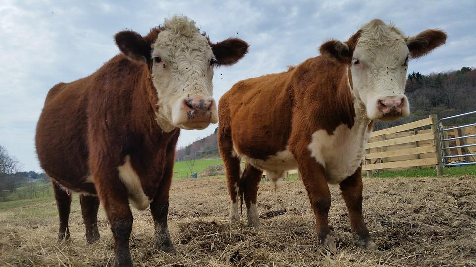 Cow, Cows, Farm, Animal, Dairy, Cattle, Beef, Mammal