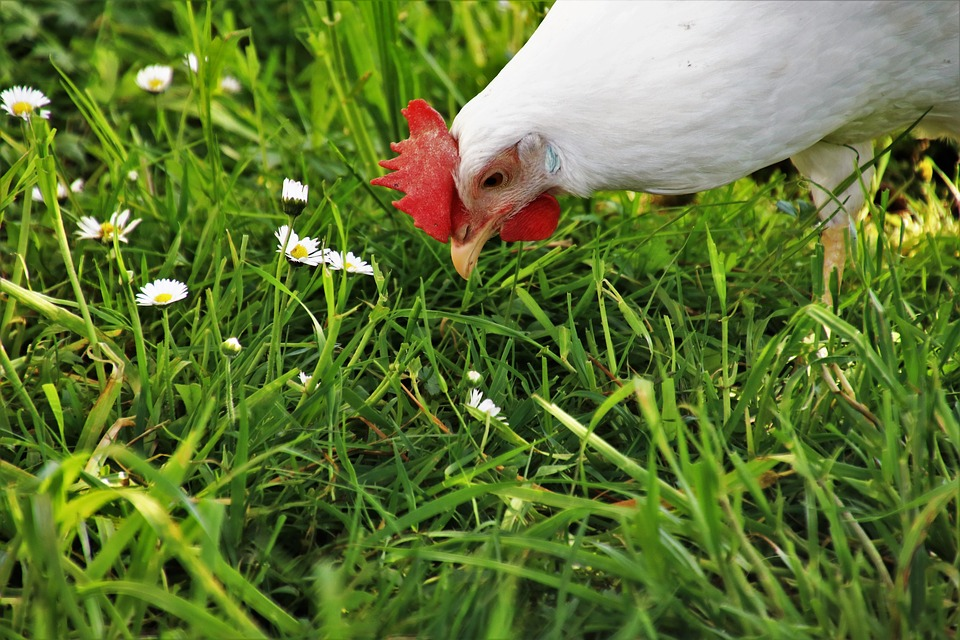 Lawn, Nature, Farm, Birds, Beak, Pen, Poultry
