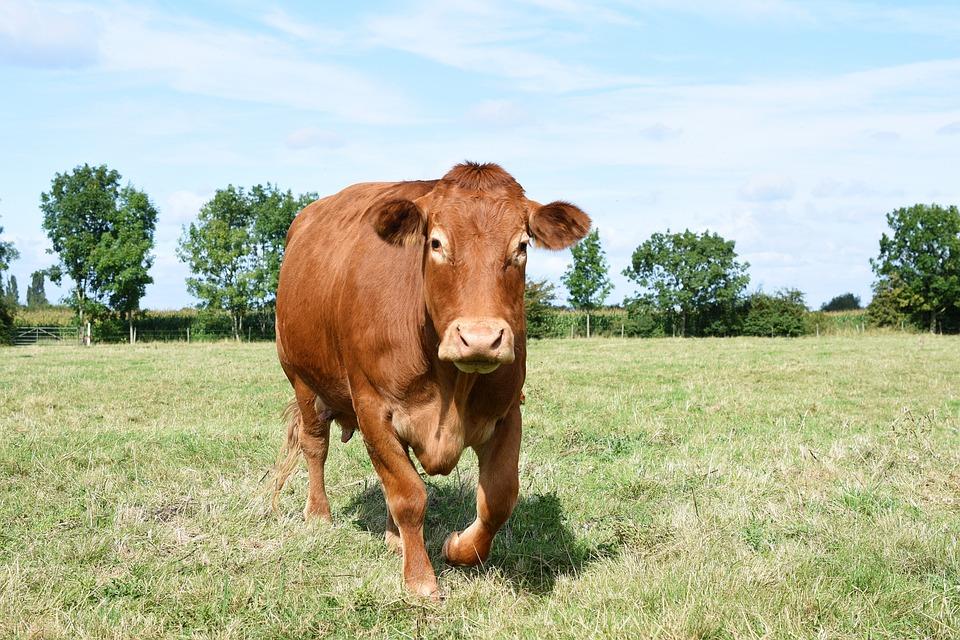 Cow, Dairy, Brown, Cattle, Livestock, Farm, Animal