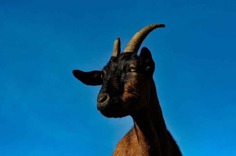 Goat, Animal, Cattle, Farm, Landscape, Domestic Goat
