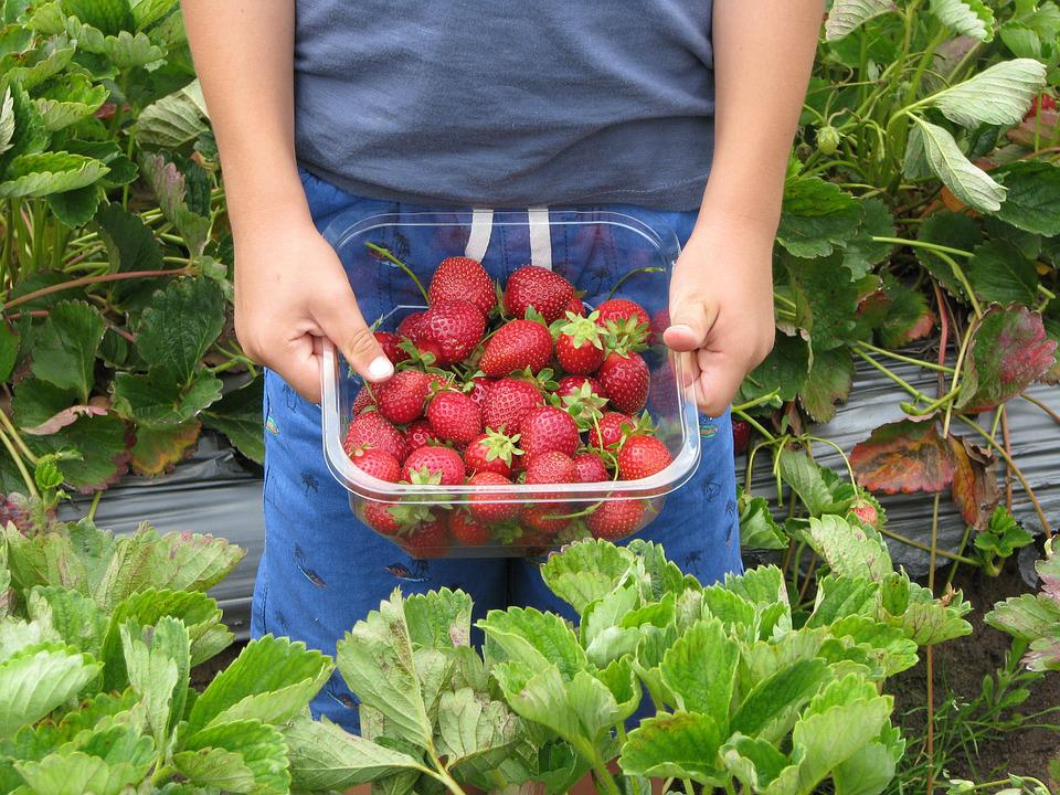 Strawberries, Boy, Child, Farm, Strawberry Picking