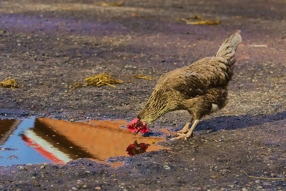 Chicken, Self-recognition, Mirror, Farm, Animal, Cock