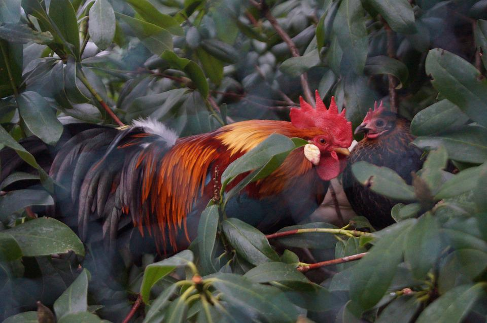 Chickens, Hahn, Garden, Colorful, Bush, Chicken, Farm