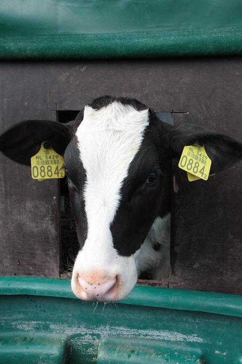 Cow, Farm, Animals, Outdoor Life