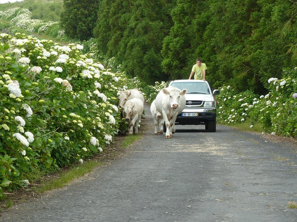 Shepherd, Cow, Pico, Farm, Animal, Cattle, Rural