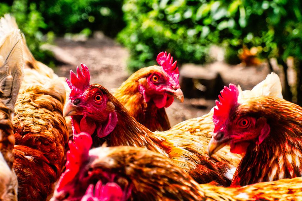 Chickens, Egg, Chicken, Farm, Poultry, Agriculture