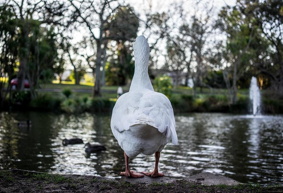 Duck, Animal, Farm, Set, Bird, Collection, Farm Animals