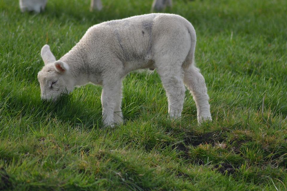 Lamb, Farm, Sheep, Baby Animal, Animal, Farm Animals
