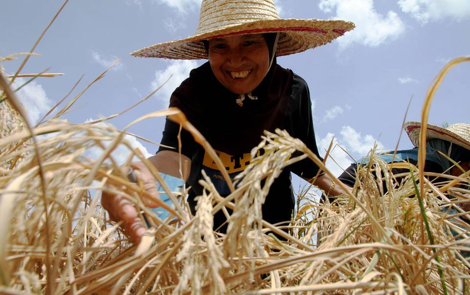 Paddy, Harvest, Agriculture, Food, Malaysia, Farm