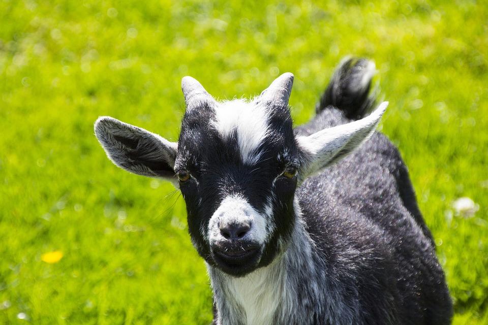 Goat, Animal, Nature, Animal World, Horns, Farm
