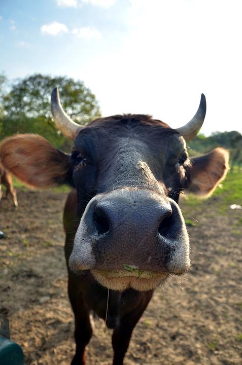 Cow, Horns, Animal, Farm, Cattle, Agriculture, Mammal