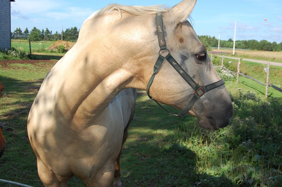 Horse, Prince Edward Island, Canada, Farm