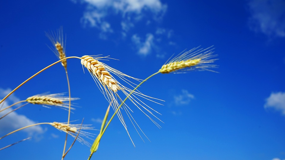 Wheat, Farm, Land, Wheat, Blue Sky, Crop