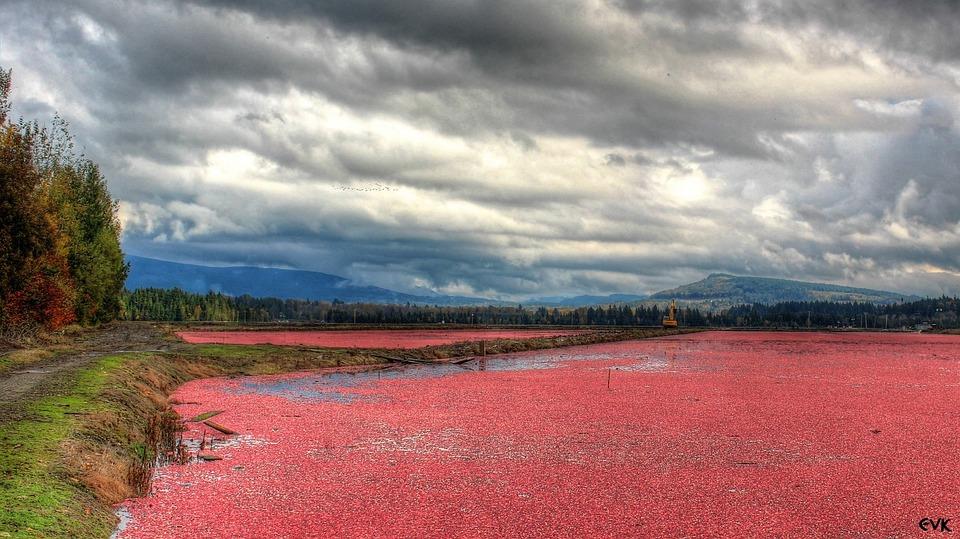 Red, Cranberries, Fields, Farm, Landscape, Scenery