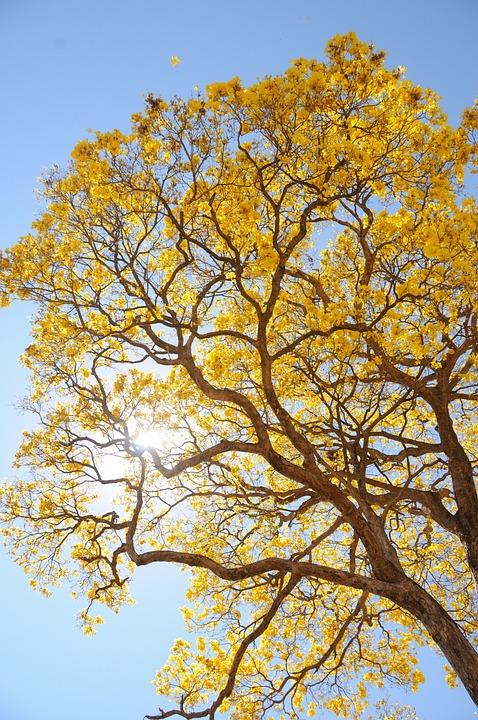 Tree, Yellow, Spring, Farm, Beautiful, Ipê, Landscape