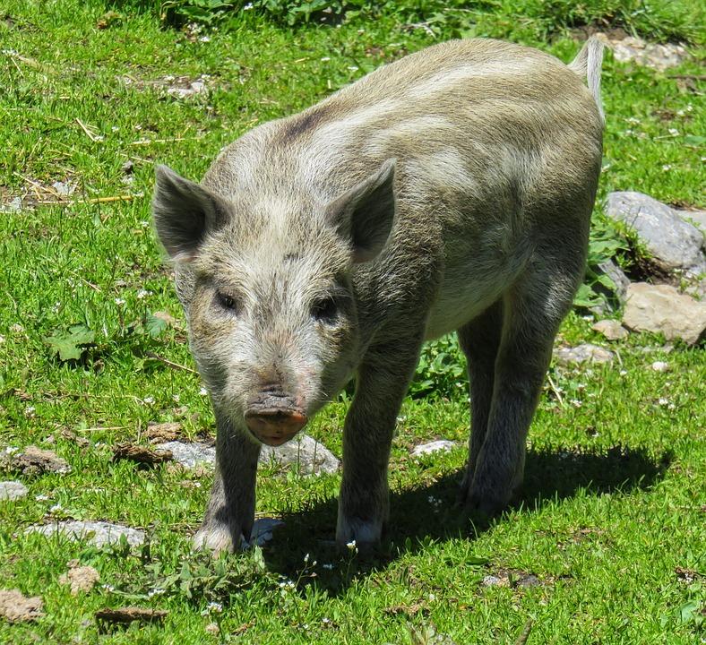 Animal, Pig, Piglet, Domestic Pig, Farm, Livestock