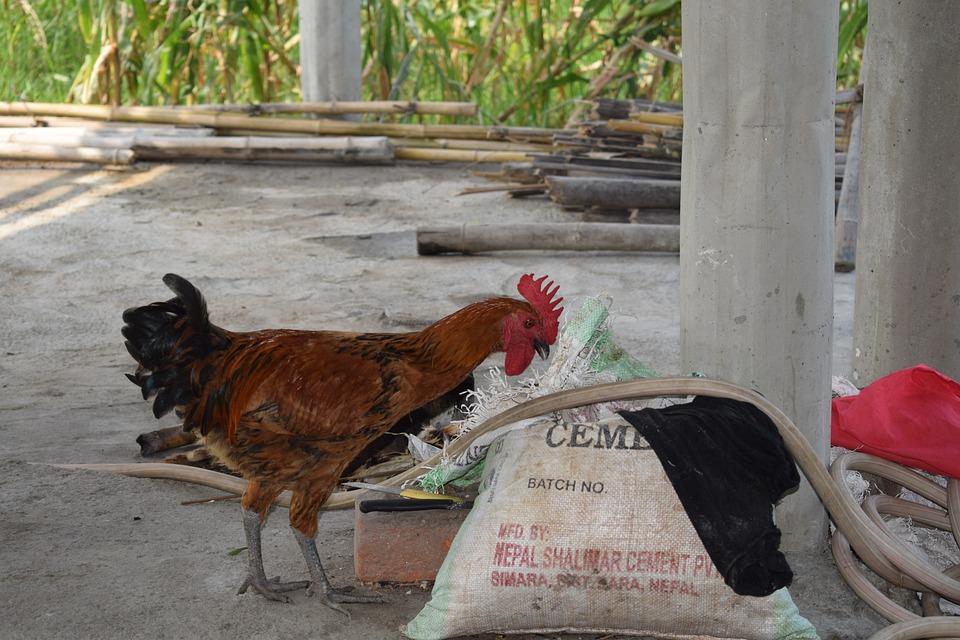 Local Organic Chicken, Local Roster, Chicken, Farm