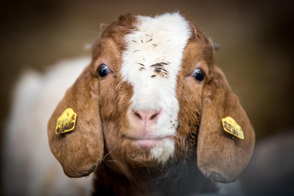 Goat, Kid, Animal, Young Animal, Farm, Mammal