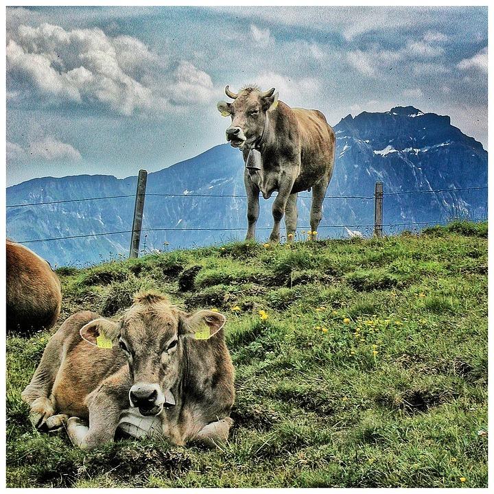 Cow, Farm, Animal, Grass, Pasture