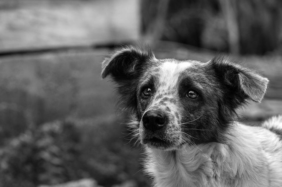 Dog, Animal, Pets, Cute, Farm, Animals, Puppy, Tamed