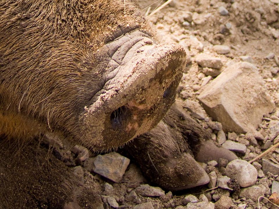 Pig, Snout, Animal, Brown, Foot, Farm, Proboscis