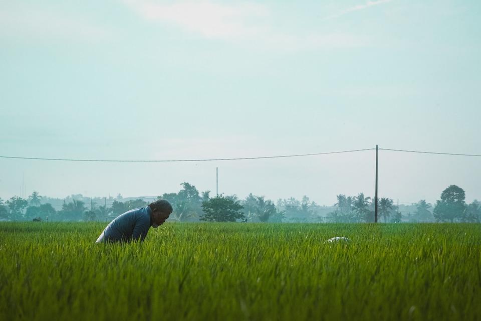 Paddy Field, Rice, Paddy, Field, Farm, Malaysia, Nature