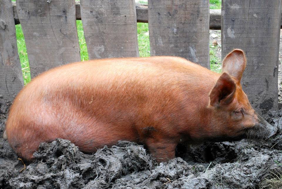 Pig, Farm, Agriculture, Livestock, Piglet, Piggy, Rural