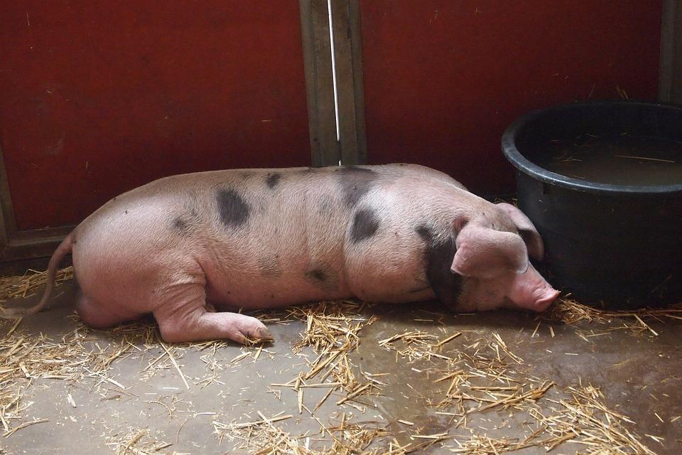 Pig, Stable, Farm