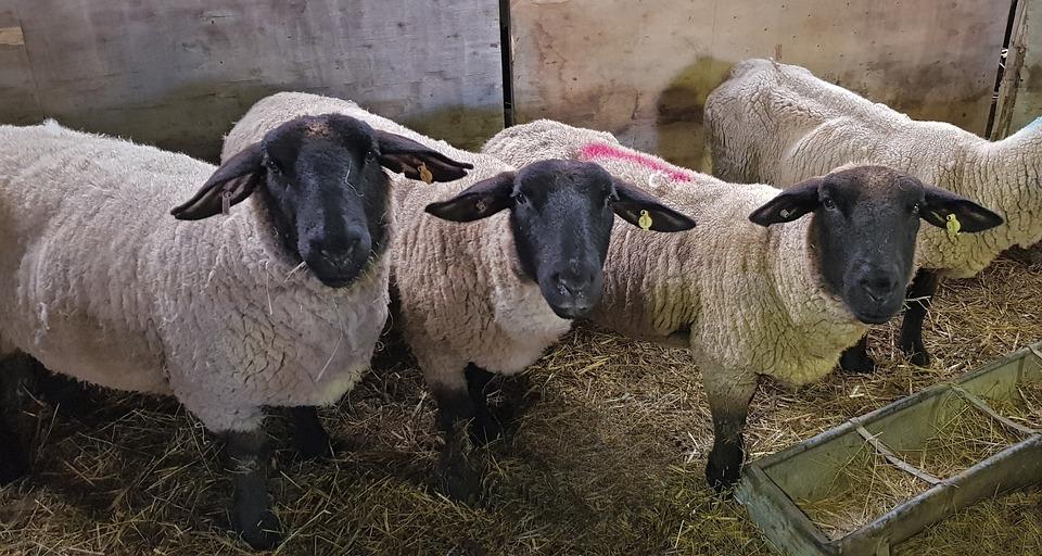 Sheep, Farm, Agriculture, Livestock, Ewes, Three