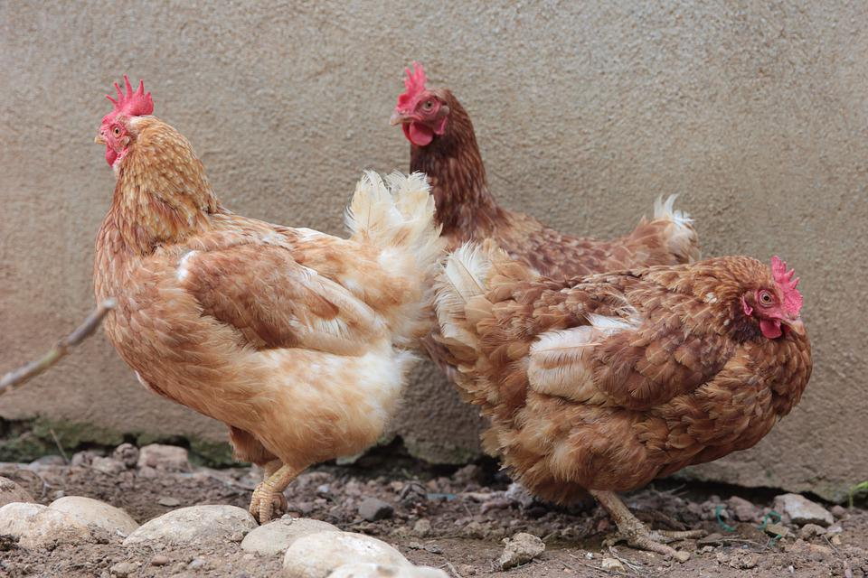 Chicken, Chickens, Poultry, Winged, Bird, Farm, Animal