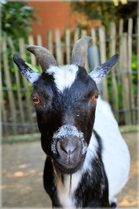 Goat, Livestock, Farm, Zoology, Species, Environment