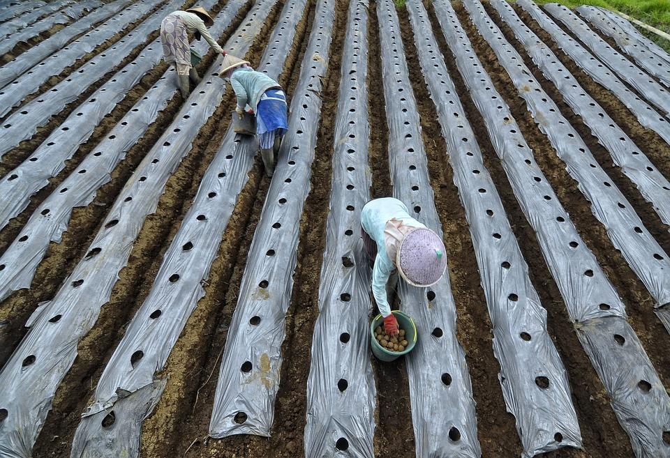 Farmer, Plant, Potato Fruit, Wonosobo Regency