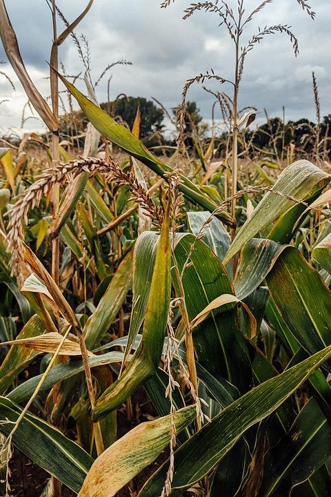 Corn, Field, Farm, Corn Field, Corn Farm, Farming