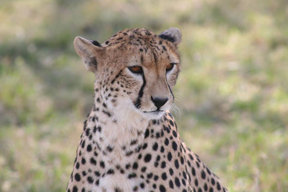 Cheetah, African Animal, Fast Animal, Animal, African