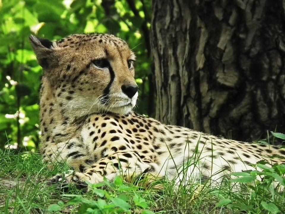 Cheetah, Cat, Wild, Nature, Wildcat, Speed, Fast