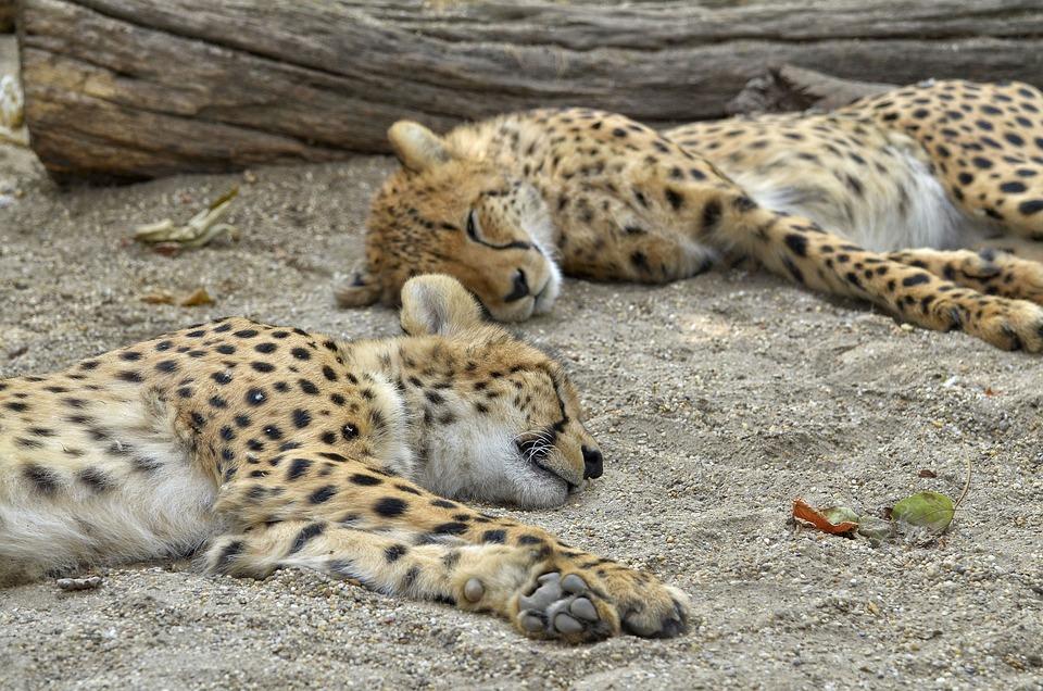 Cheetah, Cat, Sleep, Zoo, Nature, Animal, Big Cat, Fast
