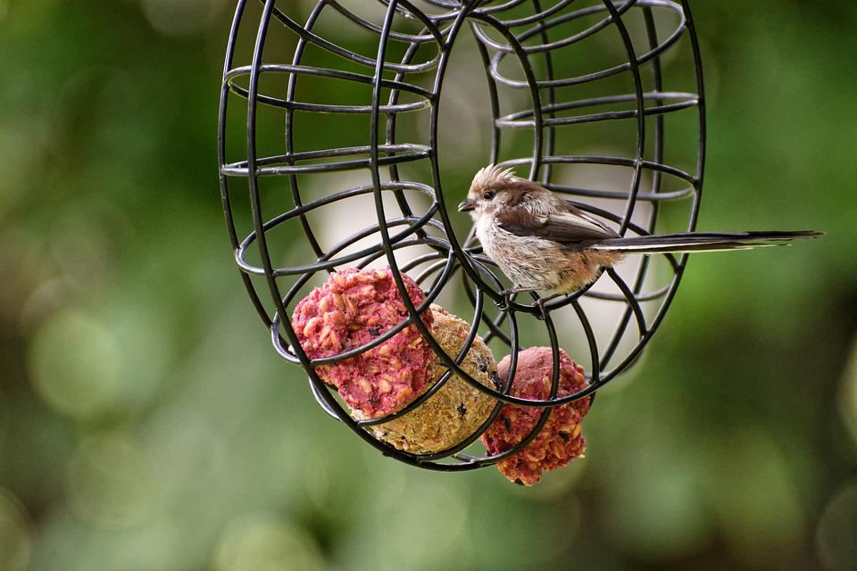 Long Tailed Tit, Food, Fat Balls, Little Bird, Nature
