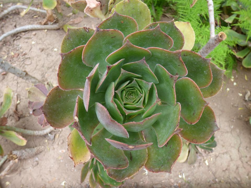 Plant, Fat, Succulent, Nature, Garden, Green